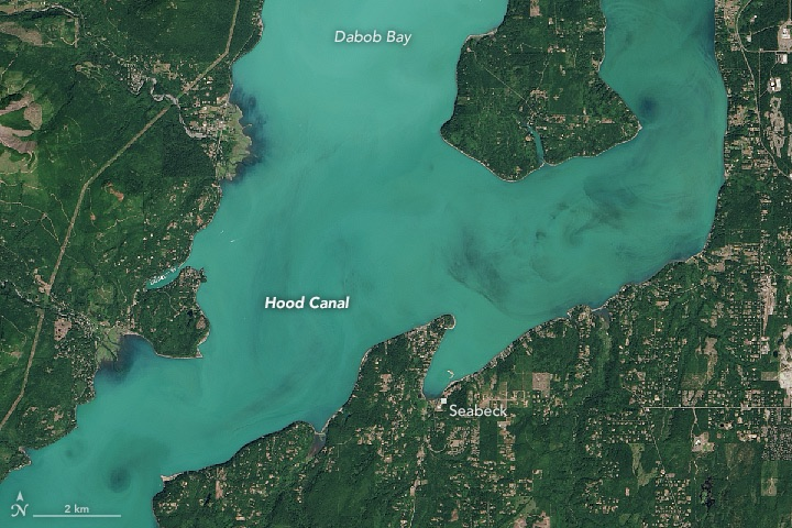 A more detailed image of the plankton bloom. NASA image: Jesse Allen, using Landsat data from USGS