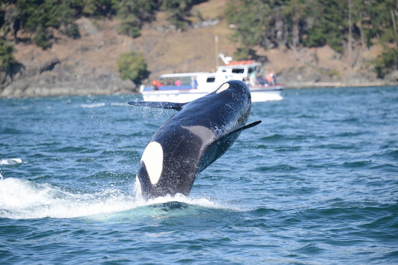 J-40, named Suttles, breaches in the latest encounter reported by Ken Balcomb. Photo: Ken Balcomb, taken under U.S. and Canadian permits