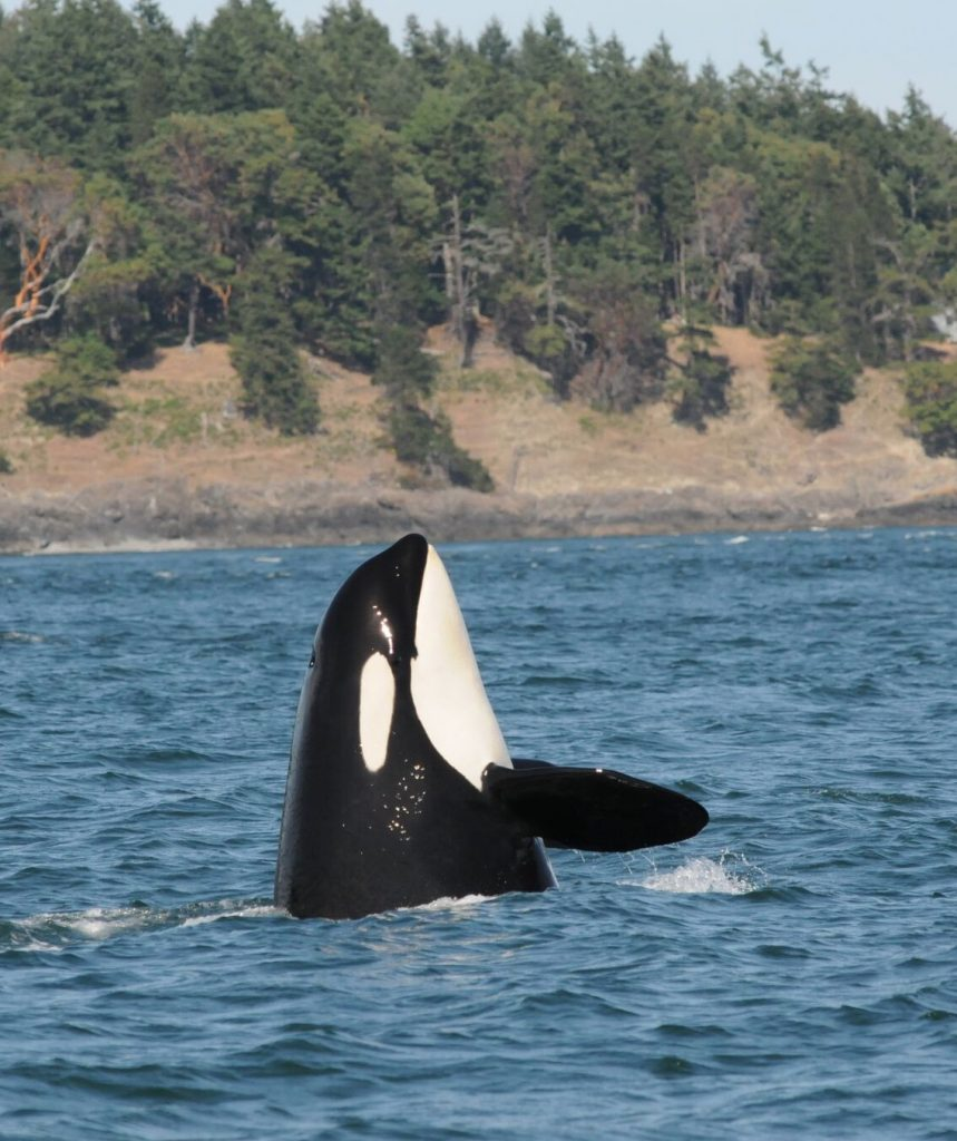 J-14 seen earlier this year in Puget Sound. Photo: Center for Whale Research