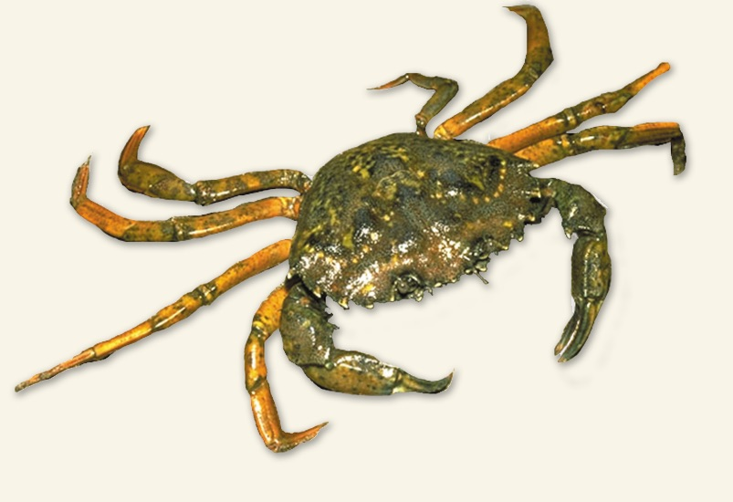 European green crab Photo: Gregory C. Jensen, UW