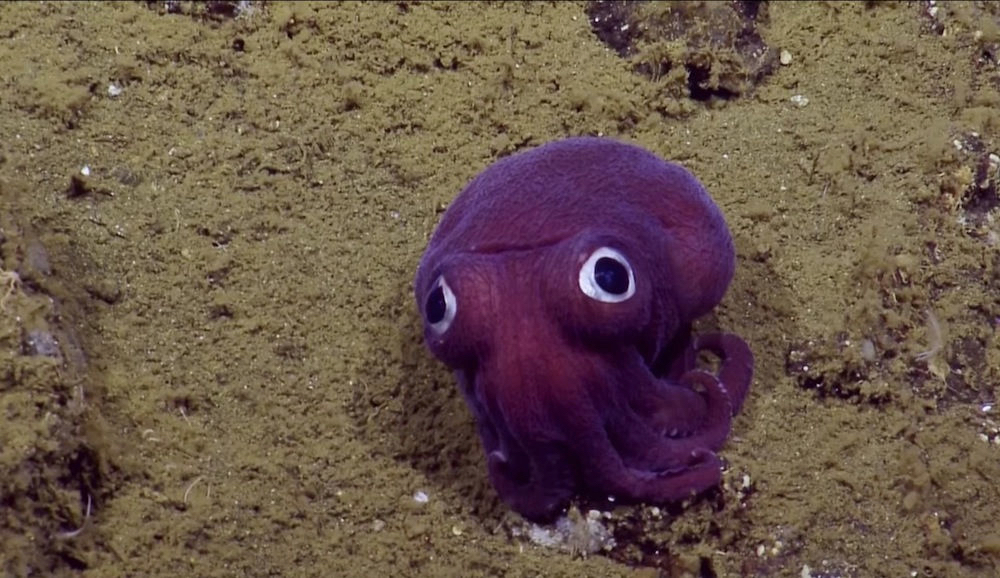 Purple stubby squid is a real creature from the deep sea. Photo: EV Nautilus/YouTube