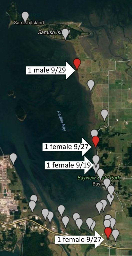 Trapping sites for crabs (gray markers) during this week's rapid assessment in Padilla Bay. The red markers show locations where invasive European green crabs were found.