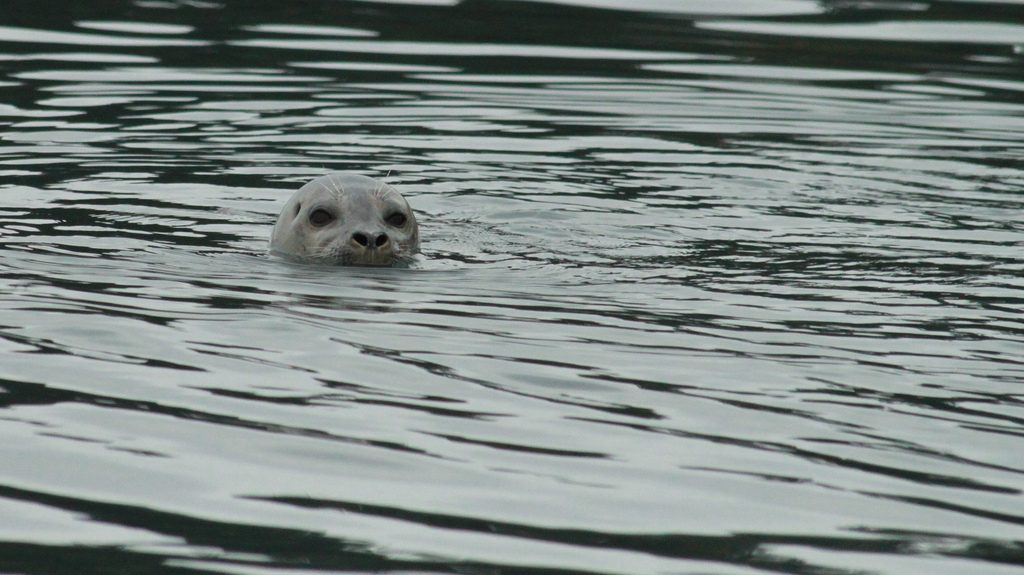 As a major predator, harbor seals accumulate more than their share of toxic chemicals, including flame retardants. A legal ban on certain chemicals seems to be reducing levels in their tissues. Photo: hj_west, www.flickr.com/photos/hjwest/