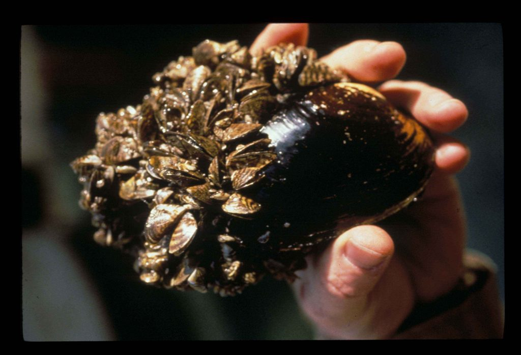 Zebra mussels cover a native mussel in the Great Lakes. Photo: U.S. Fish and Wildlife Service