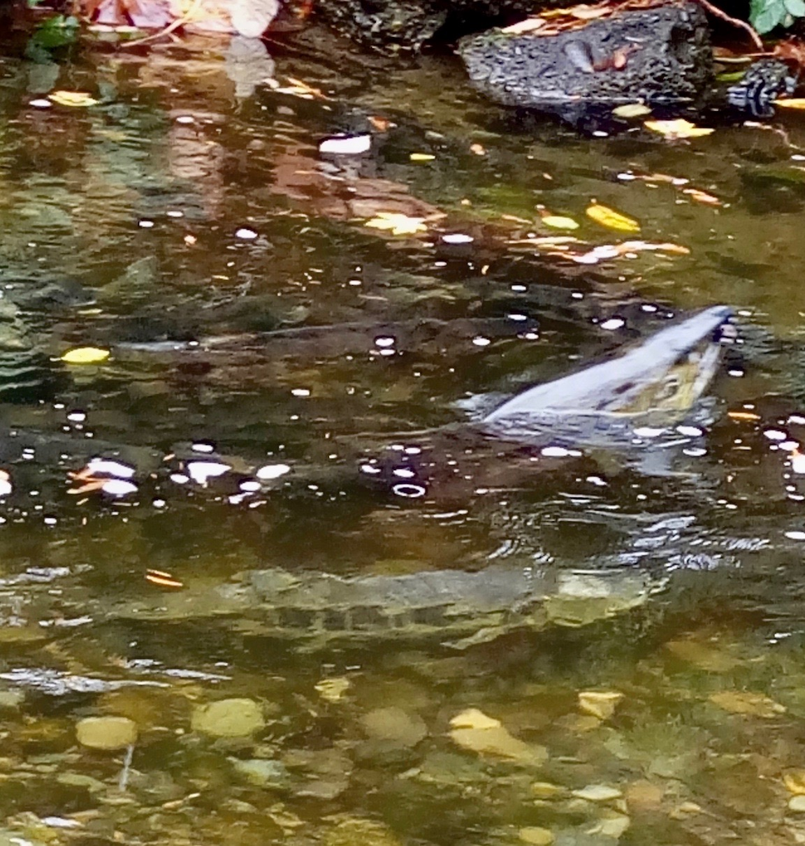 Chum salmon | Watching Our Water Ways